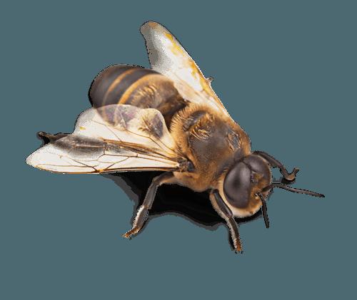 exterminateur gu pes et abeilles infestation montr al laval terrebonne. Black Bedroom Furniture Sets. Home Design Ideas