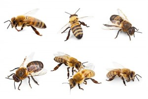 exterminateur gu pes et abeilles infestation montr al laval terrebonne. Black Bedroom Furniture Sets. Home Design Ideas