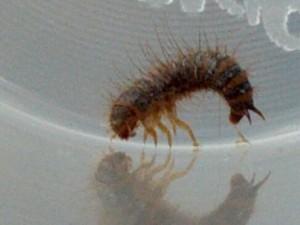 larve de dermeste