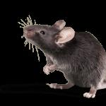 détruire les rats
