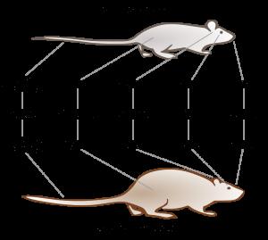 Comparaison_rat_noir_rat_brun_FR_svg-Auteur Karim-Pierre Maalej