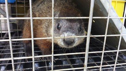 capturer marmotte dans une cage