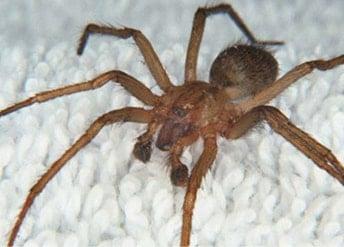 extermination-araignée