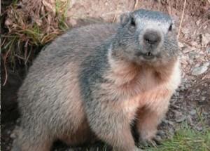 extermination-marmotte