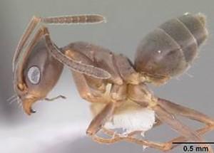 fourmis-domestique-odorante
