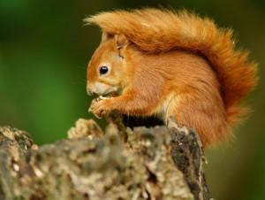 écureuil arbre