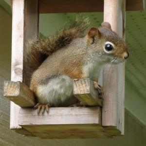 écureuil dans une mangeoire
