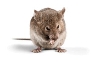 éliminer les rats