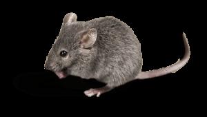 exterminateur de rat