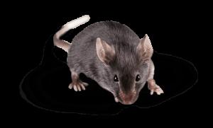 extermination de rat