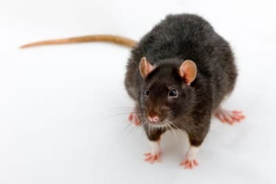 rat-noir