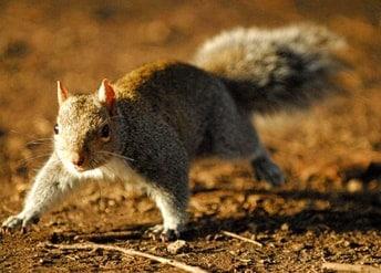 repulsif-ecureuil