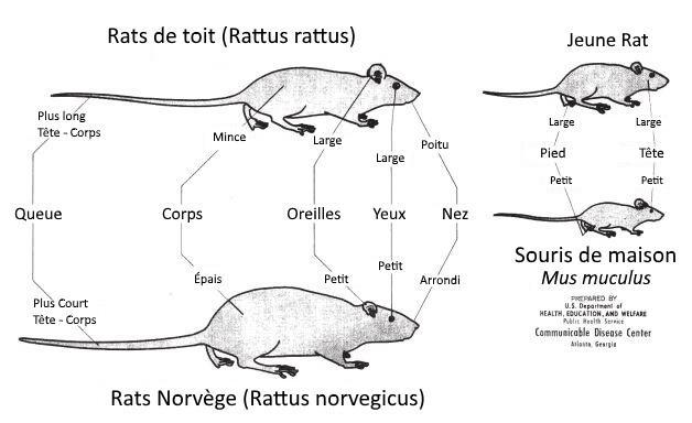comparaison-rat