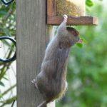 rat-mangeoire-oiseaux