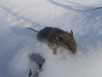 souris dans la neige