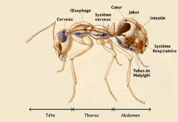 Anatomie fourmis