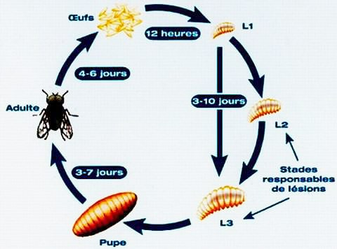 Cycle de lamouche