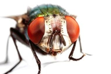 Les yeux de la mouche drosophyle