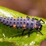 larve de coccinelle
