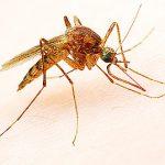 Les insectes piqueurs