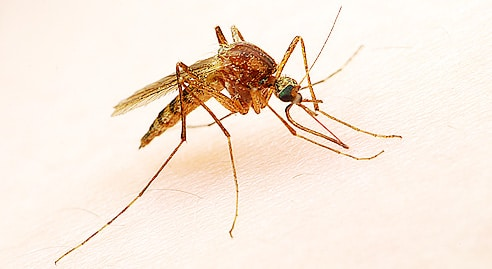 maringouin moustique canada